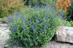Salvia ianthina