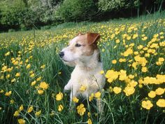 """Jack Russell Terrier in Spring From your friends at phoenix dog in home dog training""""k9katelynn"""" see more about Scottsdale dog training at k9katelynn.com! Pinterest with over 19,900 followers! Google plus with over 133,000  views! You tube with over 400 videos and 50,000 views!! Serving the valley for 11 plus years"""