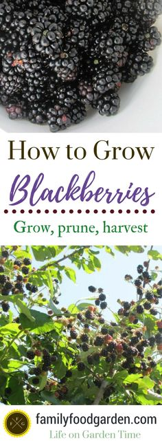 How to grow blackberries: should you prune blackberries, blackberry varieties & more