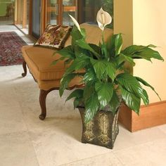 """1.75-Gallon Peace Lily (L20977hp)Peace Lily: Peace lilies could be called the """"clean-all."""" They're often placed in bathrooms or laundry rooms because they're known for removing mold spores. Also know to remove formaldahyde and trichloroethylene. - See more at: http://tomgrimshaw.com/tomsblog/2012/07/07/6-air-purifying-house-plants/#sthash.kXJQVebr.dpuf"""