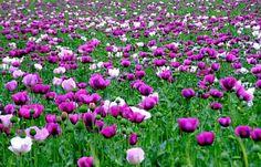 http://www.varbak.com/billeder/fotos-pink-valmue-nb33911.jpg