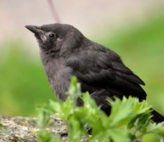 Baby crow - I found a little crow once, I could've been awesome like Queen Grimhilde and Maleficent but then my dad put it back in the tree.