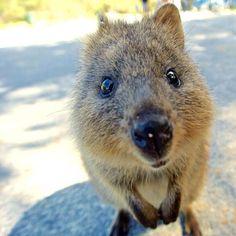 #139 #Australia #aus #Perth #westernaustralia #wa #rottnest #rottie #rottnestisland #quokka #wild #wildanimal #cuteanimal #island #オーストラリア #パース #ウェスタンオーストラリア #ロットネスト島  #ロティ #クオッカ #野生 #動物 #島 #2015 by _hitton_ http://ift.tt/1L5GqLp