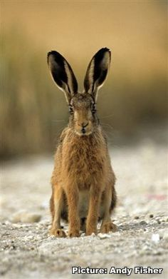 Stunning British Hares photography from Andy Fisher - award winning British photographer. Check out the hare photographs in the British Hares Photo Gallery. Forest Creatures, Wild Creatures, Jack Rabbit, Bunny Rabbit, Hare Pictures, What Is Cute, Rabbit Photos, British Wildlife, Animal Tattoos