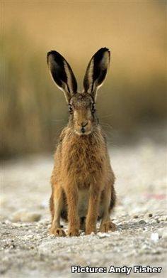188. Brown hare   * (gebruikt bij chocola maken links achterin bij zeven) *
