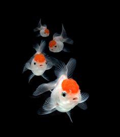#redcap oranda fancy goldfish