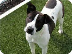 Labrador Retriever Mix Dog for adption in Birmingham, Alabama - Lady Bug