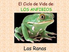 Spanish lesson on the life cycle of toads, simple sentences. Made for students who want to learn Spanish without it being too overwhelming. It can also be a starter lesson and then build up higher vocabulary from there. If you use Wixie or Pixie, this can be the model lesson for your students to create their own prez.