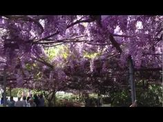 Wisteria Vine Sierra Madre California 2013 - YouTube largest in the world