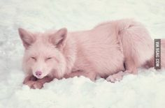 Miko, the champagne pink fox