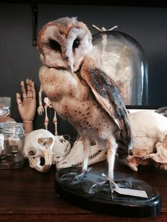 Taxidermy Owl ~ Odditie Collection
