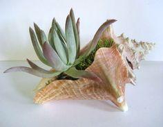 Succulent Planter Conch Shell Seashell Dudleya Beach by rosekraft,
