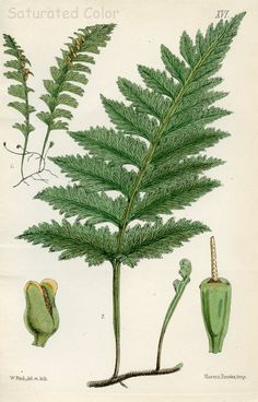 Fern - hand colored print by Margaret Plues (1828-1901), bookplate  from  British Ferns first published in 1866.