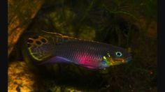 Pelvicachromis