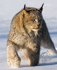 Canadian Lynx again wow! Look at those paws Canadian Lynx again wow! Look at those paws Crazy Cats, Big Cats, Cool Cats, Cats And Kittens, Cute Baby Animals, Animals And Pets, Wild Animals, Beautiful Cats, Animals Beautiful