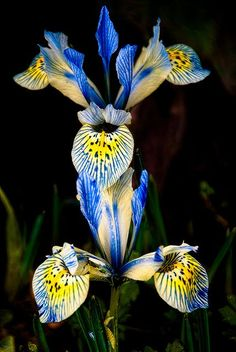 ~~Minature Irises by mother nature moments