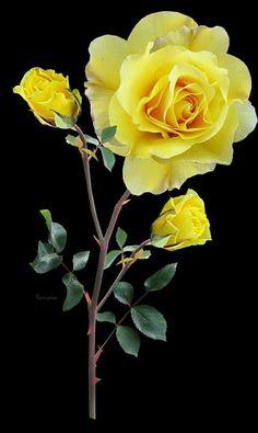 Srga Rzsa Flowers Hybrid Tea Roses Yellow Roses Flowers