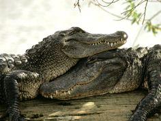 Crocodile love?