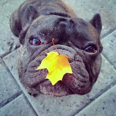 Boss the French Bulldog with an autumn leaf. Cute French Bulldog, French Bulldog Puppies, French Bulldogs, Cute Puppies, Cute Dogs, Dogs And Puppies, Doggies, Animals And Pets, Funny Animals