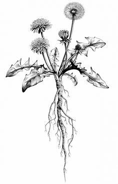 Löwenzahn Pflanze mit Blume Tuschezeichnung