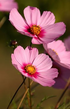 pink cosmos :: mid + late july