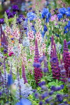 Verbascum with Lupines © Jacky Parker Photography