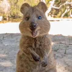 Found mainly in Western Australia's Rottnest Island and Bald Island, these herbivores are smaller than 2 feet and weigh less than 10 pounds. Quokka Animal, Happy Animals, Cute Animals, San Diego Zoo, Australian Animals, Animal 2, Western Australia, Animal Photography, Pet Birds