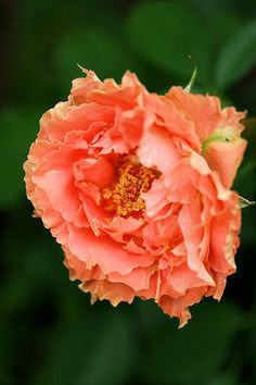 Hybrid Tea Rose: Rosa 'Frou-Frou' (France, 1957)