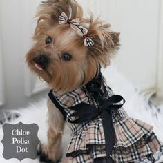 How cute are these adorable Morkies and Yorkies? Small designer mixed breed dogs are growing in popularity, especially with Millennials, and these featured fashionable stars show why. Morkie Puppies, Yorkie Puppy, Cute Puppies, Cute Dogs, Yorkies, Puppy Clothes Girl, Yorkie Clothes, Pet Clothes, Dog Clothing