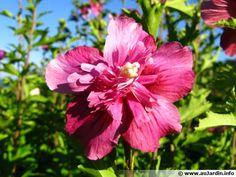 Althéa, Ketmie, Mauve en arbre, Hibiscus syriacus : planter, cultiver
