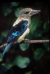 Cucaburra escamosa(Dacelo tyro). Habita enNueva Guineay lasislas Aru.
