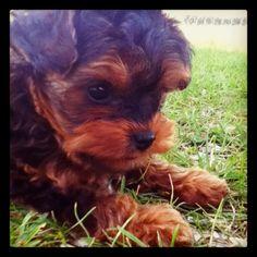 8 week old yorkie/poodle cross *Piper #yorkiepoo #dogs #cute