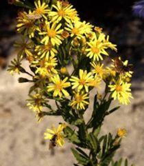 """L'Inule visqueuse : """"l'insecte végétal"""" ! cette plante sauvage méditerranéenne est très utile contre la mouche de l'olivier et pour les abeilles qui se nourrissent de son nectar en automne et font leurs reserves d'hiver"""