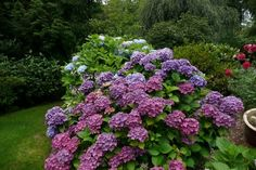 """Lazy Man's"" blue hydrangea :-) - to get the glorious blue color, the soil has to be acidic. If the soil is alkaline, blue hydrangeas will actually bloom in purple hues - also gorgeous! Hydrangea Landscaping, Hydrangea Garden, Pink Hydrangea, Outdoor Landscaping, Purple Flowers, Purple Hues, Landscaping Ideas, Pink Purple, Front Yard Planters"