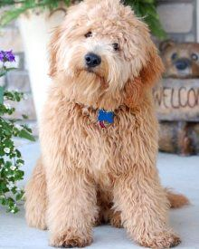 Miniature Goldendoodle Cant Get One Nick Is Anti Pets Yeah I Know Have Two Cats He S Them