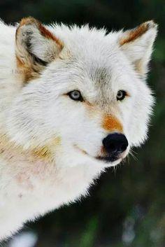 Don't kill me, because I am a werewolf! Wolf Photos, Wolf Pictures, Wolf Spirit, Spirit Animal, Beautiful Creatures, Animals Beautiful, Animals And Pets, Cute Animals, Wolf Husky