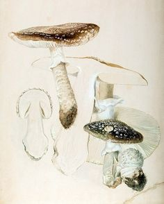 Beatrix Potter, Mycologist: The Beloved Children's Book Author's Little-Known Scientific Studies and Illustrations of Mushrooms – Brain Pickings