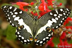 butterflies pictures the most beautiful | Recent Photos The Commons Getty Collection Galleries World Map App ...