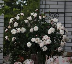 """""""Little White Pet"""". Polyatha. Discovered by Peter Henderson (United States, 1879). Love this rose...little white flowers with dark pink buds"""