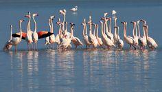 Flamingo,s in Kos Greece Winter Is Coming, Kos, Greece, Birds, Island, Nature, Salt, Photography, Animals