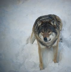 Save our wolves!