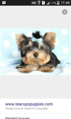 Top Terrier Bow Adorable Dog - 21cf00ddcdc481b904a3a51bc23f46dd--yorkie-puppies-for-sale-free-puppies  Picture_19646  .jpg