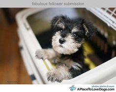 Image result for baby schnauzers