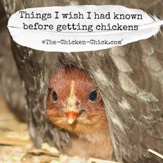 Things I wish I'd known before getting chickens...Chickens are a joy to keep for many reasons. If you can, just do it!