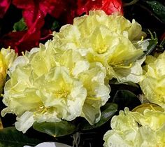 Lemon Dream Rhododendron - Live Plant - Quart Pot