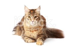 Maine-coon cat - Stock image
