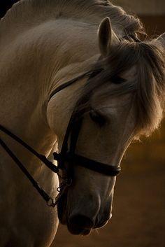 Arabian beautiful horse face