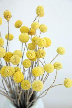 Craspedia - Trockenblumen - la fleur douce - Online kaufen Fruit, Flowers, Communities Unit, Deko, Nice Asses, Royal Icing Flowers, Floral, Florals, Flower