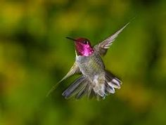 pictures of hummingbirds - Google Search