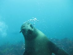 When diving with the seals sometimes they look you straight in the eyes, they really are interesting animals to dive with.